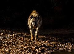 Into the light (paul.ralphs) Tags: hyena safari africa madikwe canon 7d game reserve den predator sunrise