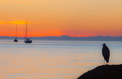 Wonder (stevenbulman44) Tags: heron vancouver spring orange sunset sailboat 70200f28l filter tripod gitzo blue rock ocean pacific nature canon light color evening outdoor bird