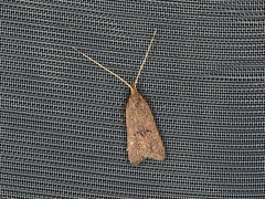 Lecithocera sp. (dhobern) Tags: 2019 april australia lamingtonnationalpark lepidoptera queensland lecithoceridae lecithocera