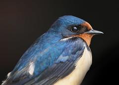 Barn Swallow (Hirundo rustica) (Gavin Edmondstone) Tags: hirundorustica barnswallow bronteharbour oakville ontario bird swallow