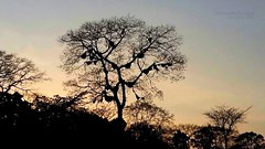 Lets bee someplace where .... (Anuradha Nautiyal) Tags: bee hive beehive tree nature insect honey trees westernghats phone photography phonephotography sirsi karnataka india sunset hues silhouette