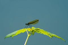 Caloptéryx vierge (Glc PHOTOs) Tags: glc7901 caloptéryx vierge glc photos nikon d7500 dslr reflex apsc 20mpixels tamron 100400 f4563 vc di usd demoiselle libellule