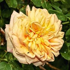 Rosa ´Alchymist´; Rosaceae (1) (pflanzenflüsterer) Tags: rosaceae rosa alchymist kordes kletterpflanze kletterrose strauch laubwerfend hybride gefüllt härlen garten stelle niedersachsen germany gelb duft