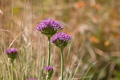 Peckham Rye Park (Adam Swaine) Tags: flora flowers peckhamryepark naturelovers nature england english macro spring parks london londonparks beautiful canon uk purplegreen petals 2019