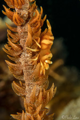 0M9A0167 (PaoloLora) Tags: puerto galera puertogalera mindoro filippine philippines scuba dive underwater macro critter shrimp nudibraanch emperor paolo lora