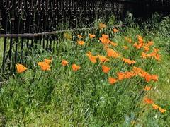 Cluster Orange in Green Grass (Robert Cowlishaw (Mertonian)) Tags: beauty fence spring2019 mertonian parasophia canon powershot sx70hs imhere4u orange canonpowershotsx70hs lunchstroll melancholy robertcowlishaw green