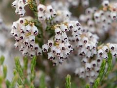 Tree Heath flowers, Kilimanjaro NP, Tanzania (Amdelsur) Tags: gladioluswatsonioides tanzanie continentsetpays parcdukilimandjaro afrique africa kilimanjaronationalpark tz tza tanzania kilimandjaro