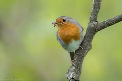 Le dur labeur! (2) (DorianHunt) Tags: birds bokeh europeanrobin switzerland may 2019 nikond500 sigma 150600mm