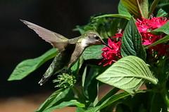 Archilochus colubris (Jim Atkins Sr) Tags: archilochuscolubris rubythroatedhummingbird hummingbird bird closeup fairfieldharbour northcarolina macro sony sonyphotographing sonya58
