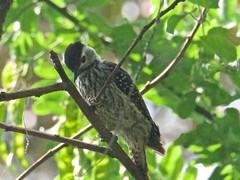 500_4290 (Bird Brian) Tags: femalecardinal