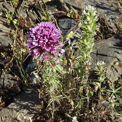 Purple Owl's Clover--Castilleja exserta (Polioptila caerulea) Tags: purpleowlsclover castillejaexserta castilleja tablemountain buttecounty california
