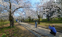 Peak Bloom Of Cherry Blossoms In High Park .... Toronto, Ontario (Greg's Southern Ontario (catching Up Slowly)) Tags: sakuratrees highpark c cherryblossoms japanesecherryblossoms torontoist nikond3200 sakuracherryblossoms cherryblossomshighpark 2019sakuracherryblossomshighpark citypark