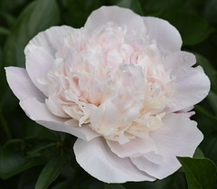 Peony (Pictures by Ann) Tags: peony flower farm frontyard white