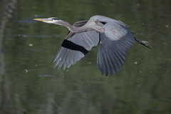 Another heron flight (woodwindfarm) Tags: great blue heron bif bird flight commonwealth lake sundaylights