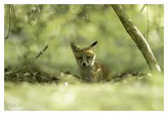 fox cub enjoying the afternoon sunshine (richgparkes) Tags: fox cub canon 1dx 600mm f4 wood bluebells nature