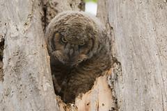 If looks could kill (Gaby Swanson, Photographer) Tags: greathornedowl birds bird owlet birdsofprey mageemarshwildlifearea