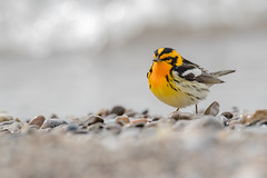 Blackburnian Warbler | Setophaga fusca | Paruline à gorge orangée (Paul B Jones) Tags: blackburnianwarbler setophagafusca parulineàgorgeorangée fishpointprovincialpark peleeisland ontario canada bird nature wildlife canoneos1dxmarkii ef600mmf4lisiiiusm lîlepelée