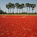 Field of Red Chilis, Myanmar
