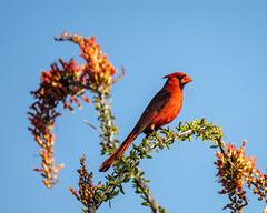 Cardinal on Ocotillo (dan.weisz) Tags: ocotillo cardinal northerncardinal bird tucson