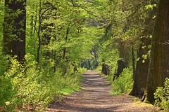 spring in the forest (JoannaRB2009) Tags: oak oaks alley avenue path road tree trees green sunny sunlight sunlit fresh leaves nature natural milicz lowersilesia dolnyśląsk polska poland view