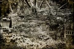 Garden Wall (judy dean) Tags: judydean 2019 lensbaby bw garden wall bricks old plants appletrees ivy