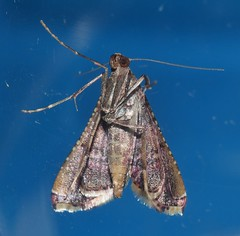 Teenas moth 56 Endosimilis sp Endotrichinae Crambidae Teenas rainforest Airlie Beach P1060183 (Steve & Alison1) Tags: teenas moth 56 endosimilis sp endotrichinae crambidae rainforest airlie beach