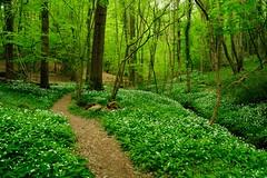 An unforgettable aroma (Puckpics) Tags: okewoodhill wildgarlic spring presummer renewal birth heaven heavenly garlic untouched eden freedom aroma scent