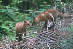 Boop (curious_spider) Tags: fox redfox foxes babyfoxes foxcub foxkit kit vulpine puppycat