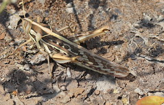 ecosystem/fauna/Brown-spotted Locust(Cyrtacanthacris tartarica) (biodiversity western ghats(before it is gone)) Tags: taxonomy:binomial=cyrtacanthacristartarica