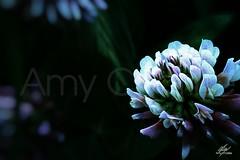 Little flower (Amy Charlize) Tags: amycharlize focosocial beautiful beauty color colour canon macro details fotografía photography flor flower inspiration life magic nature naturaleza plant planta visual