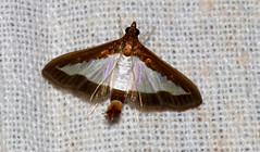ecosystem/fauna/Cucumber Moth(Diaphania indica) (biodiversity western ghats(before it is gone)) Tags: taxonomy:binomial=diaphaniaindica