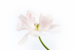 Angelique (loraine.french57) Tags: tulip tulipa angelique white palepink petals stamens stem