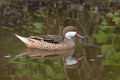 White-cheeked Pintail (Kevin James54) Tags: anasbahamensis kevingiannini lambertville nikond850 tamron150600mm whitecheekedpintail animals avian bird kevingianniniphotocom
