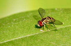 Syrphid Fly (Toxomerus germinatus) (nehall) Tags: flies insects hoverflies syrphidaeflies macros