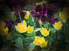 Tulips (judy dean) Tags: 365the2019edition 3652019 day136365 16may19 judydean 2019 garden iphone textures ps tulips purple yellow