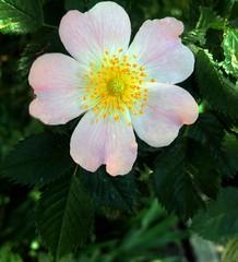 Dog-rose (Anna Gelashvili) Tags: dogrose шиповник цветокроза roseflower цветы flowers цвести rose flower сад цветочки ვარდი ვარდისფერივარდი ყვავილი leaf bright лист яркий растение garden