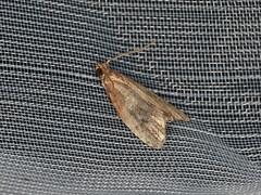 Tortricinae sp. (dhobern) Tags: 2019 april australia lamingtonnationalpark lepidoptera queensland tortricidae tortricinae