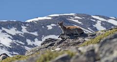 Bouquetin ibérique_Sierra Nevada__EM11389 (Clo_09) Tags: montagne mammifère espagne andalousie sierranevada bouquetinibérique caprapyrenaica cabramontés