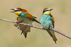 Rainbow Feathers - Plumas do arco-íris (rio.alva) Tags: bird birdwatching ave nature natureza wildlife portugal nikon200500mmf56eedvr nikond7000