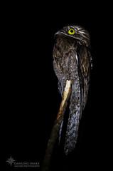_O6A3065 Potoo ©Dancing Snake Nature Photography (Dancing Snake Nature Photography) Tags: nature photography dancingsnakenaturephotography potoo nocturnal large tarcoles costarica cryptic dancingsnakenaturephotographybirds
