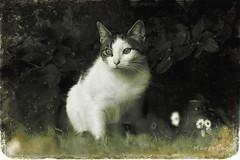 Sweet Kitty ... (MargoLuc) Tags: cat garden tree leaves daisies meadow monochrome bokeh vintage spring shadows bw white grey lovely