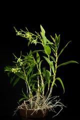 [Bismarck Archipelago, Papua New Guinea] Dendrobium archipelagense Howcroft & W.N.Takeuchi, Sida 20: 464 (2002)