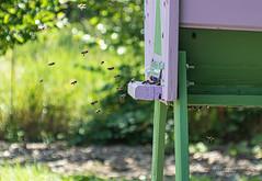 Trou d'envol ruche kényane (michel bourgouin) Tags: apiculture abeilles buckfast ruchetbh ruchekényane canoneos760d essaim ruche insectes biodiversité