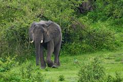 Саванный слон, Loxodonta africana, African Savanna Elephant (Oleg Nomad) Tags: саванныйслон loxodontaafricana africansavannaelephant африка замбия луангва сафари животные africa zambia safari luangwa animals travel