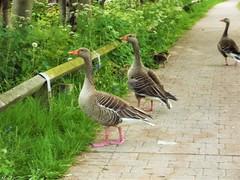 Protective Parents (Adam.L.) Tags: geese greylaggeese goose bird birds unitedkingdom greatbritain lancashire leigh leighlancashire leedsliverpool leedsliverpoolcanal flora fauna animals wildlife wildfowl