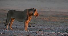 Breakfast time..... (Jambo53 ()) Tags: crobertkok nikond800 kgalagaditransfrontierpark southafrica