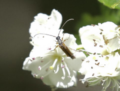 Longhorn Beetle - Alosterna tabacicolor (Prank F) Tags: naturalengland monkswood nnr sawtry cambsuk wildlife nature insect macro closeup beetle longhorn cerambycidae alosternatabacicolor