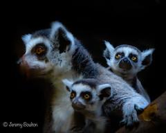 Young Lemur Family (JKmedia) Tags: lemur madagascar baby hands feeding boultonphotography 2019 chesterzoo animal eye orange siblings 3 three mum mother