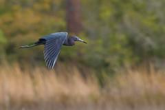 Little Blue Heron (stephaniepluscht) Tags: alabama 2019 bon secour national wildlife refuge little blue heron