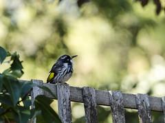 New Holland. (Bev-lyn) Tags: birds native australian honeyeater outdoors